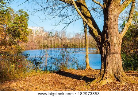 The tree on the shore of Candler Lake in the Lullwater Park in sunny autumn day Atlanta USA