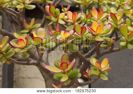 Crassula ovata commonly known as jade plant friendship tree lucky plant or money tree is a succulent plant with small pink or white flowers. It is native to South Africa and Mozambique and is common as a houseplant worldwide.