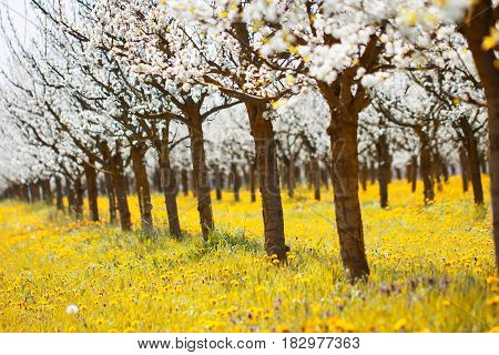 Beautiful orchard in white blossom on a yellow meadow full of bright light and vibrant color as agriculture and spring bloom background