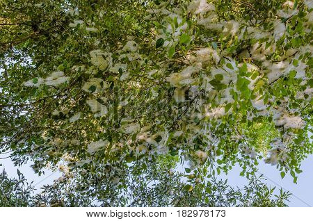 Poplar branch with feathers, foliage and seeds on blue sky background close-up
