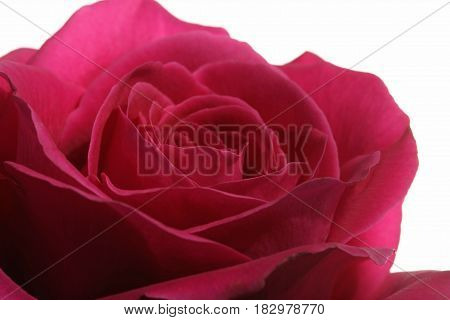 Red Rose against white Background close up