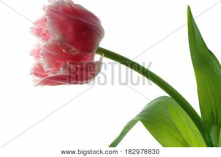 Spring Tulip against white Background close up