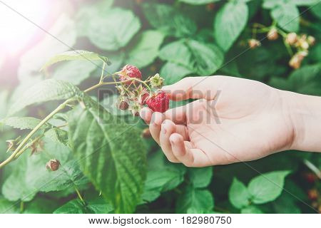 Child's hand gather raspberries on a bush. Closeup of raspberry cane. Summer garden in village. Growing berries harvest at farm