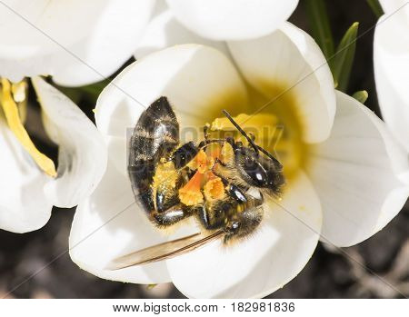 The honey bee collects the nectar not recently bloomed crocus