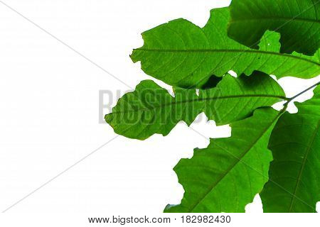 Close Up Bug Bite Leaf Isolated On White Background, Leave Space For Adding Text