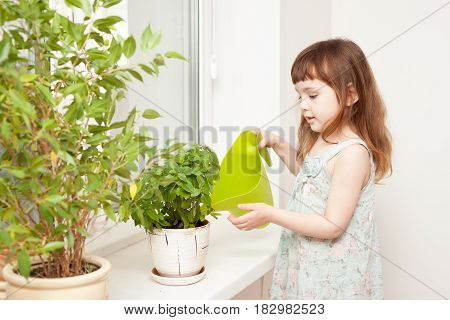 Girl Watering Basil In A Pot On The Windowsill