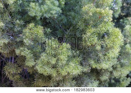 Green lush conifer tree branches with small narrow leaves