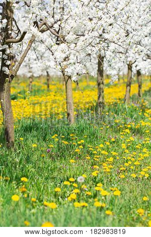 Spring blossom in white and yellow flower orchard alley and green grassland as season agriculture