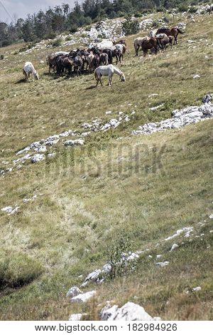 Wild horses in a herd on a green pasture and rocky hill eating grass