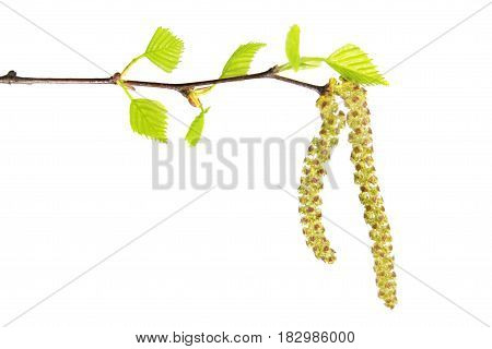Birch branch with catkins and fresh green leaves isolated on white background