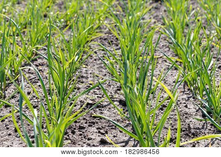 Young garlic grows in the garden organic product natural antibiotic horisontal photo