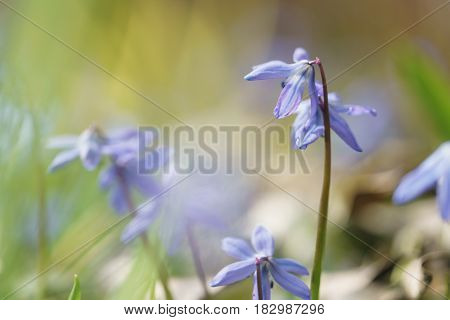 blue snowdrops in sunny spring day, shallow focus