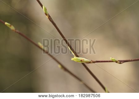 first spring buds on bush in forest, shallow focus