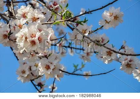 A blooming branch of almond tree in spring. photo of blossoming tree brunch with white and pink flowers on blue sky background. blossoming tree of an apple-tree. spring season