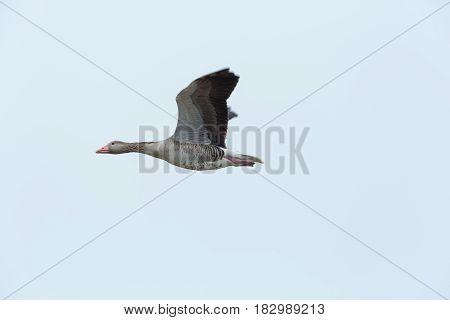 Portrait Of Flying Gray Goose (anser Anser) In White Sky