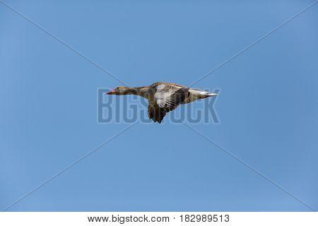 Portrait Of Isolated Flying Gray Goose (anser Anser) In Blue Sky