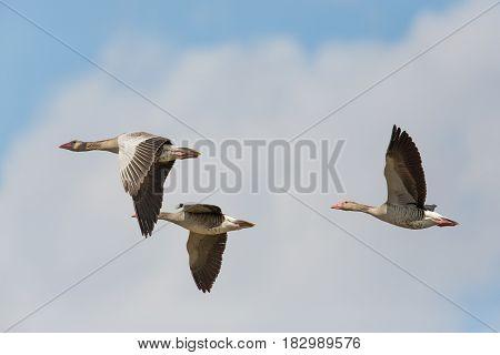 Portrait Of Three Flying Gray Gooses (anser Anser) In Blue Sky