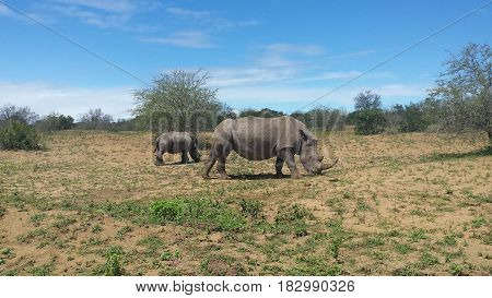 rhinos grasing on a country side in south africa