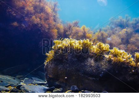 Sun rays and stones with seaweed in underwater. Ocean life