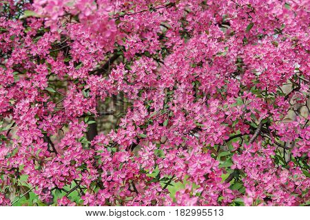 Pink Beautiful Tree Flowers Paradise Apple Tree On A Background Of Juicy Spring Green Grass