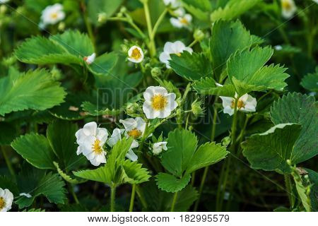 Strawberry flowers on the field grow on a sunny day.