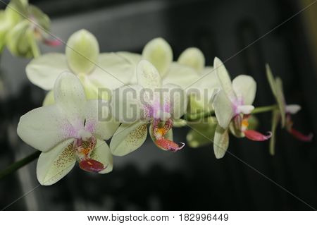nature, flora, plant, flower, Orchid, beauty, Phalaenopsis, flowers home