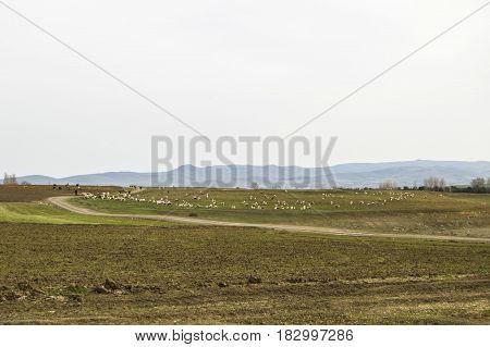 Sheep grazing away, dozens of sheep spreading, shepherds and sheep