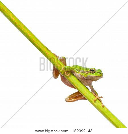 Green European Tree Frog Left Page Diagonal Stick