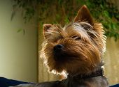 Beautiful Yorkshire terrier playing pet friendly playing dog garden yorkie doggy poster