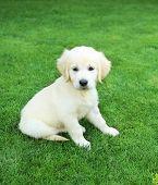 Golden retiever labrador puppy on the green grass poster