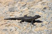 Black girdled lizard at National park . The Cape of Good Hope, Cape Town, South Africa. poster