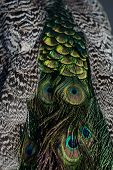 Glory coloring. Beautiful peacock feathers or tail peafowl bird with extravagant plumage iridescent blue and green eyespots on blurred natural background poster