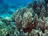Underwater inhabitants of the South-Chinese sea, a soft coral, Nha Trang poster