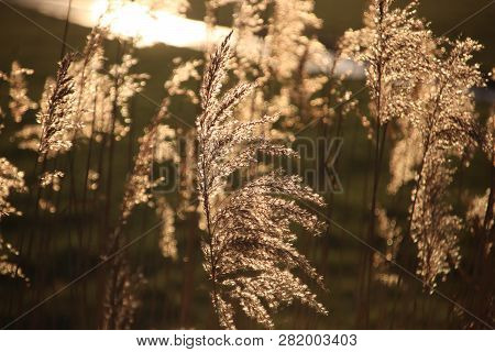 Plumes Of Reed Grass Colored Several Ways In Sunlight By Sunset In Moordrecht In The Netherlands