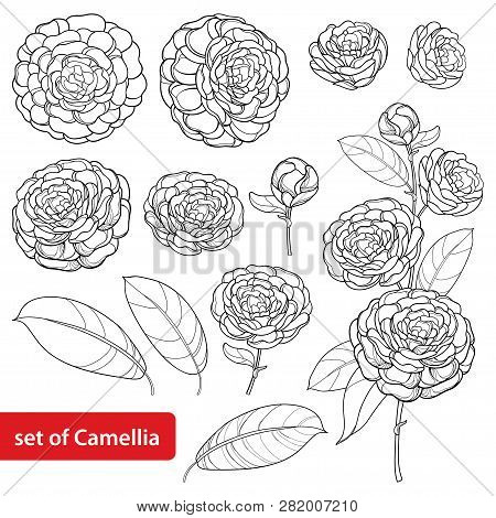 Vector Set With Outline Camellia Flower Bunch, Bud And Leaves In Black Isolated On White Background.