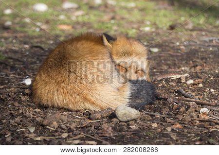 Portrait Of An Orange Fox  Outdoors In A Park