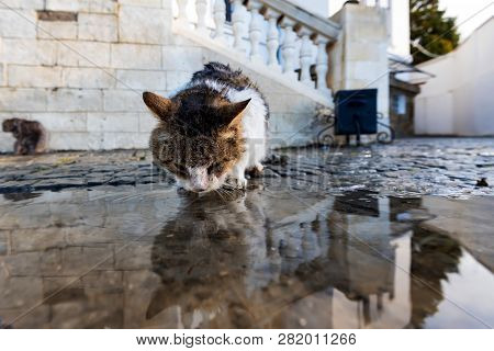 Homeless Cat Drinks Water From A Puddle After The Rain.