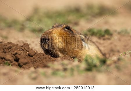 Close Up Of A Big-headed African Mole-rat, Also Known As The Giant Root-rat, Ethiopian African Mole-