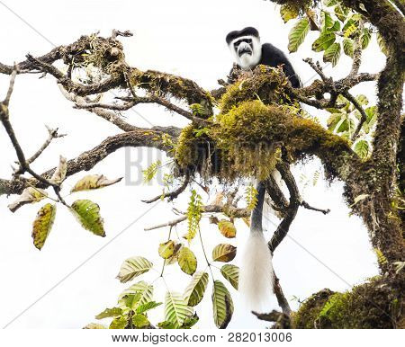 Mantled Guereza (colobus Guereza) Monkey In The Harenna Forest. Bale Mountains National Park, Ethiop