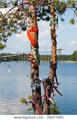 Wish Pine Tree In Finland