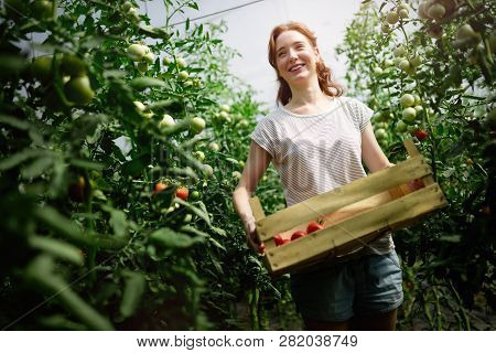 Young Smiling Agriculture Woman Worker Working, Harvesting Tomatoes In Greenhouse.