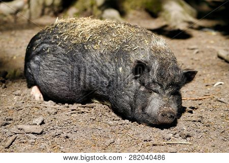 Portrait Of Sliping Black Pig Breed Vietnamese Pot-bellied. Photography Of Nature And Wildlife.