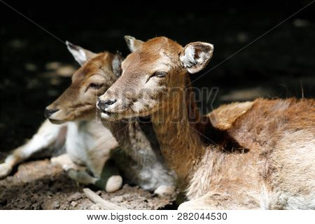 Portrait Of Fallow Deer (dama, Dama) In The Forest. Photography Of Nature And Wildlife.