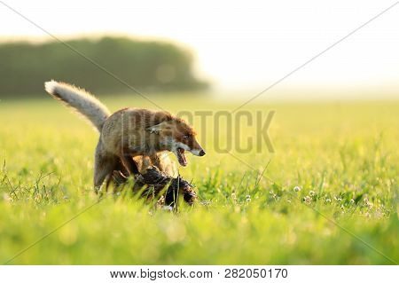 Red Fox Vixen Protect Catched Bird On Meadow In The Morning - Vulpes Vulpes