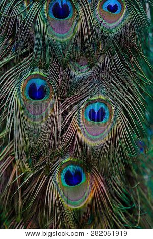 Details Of Feathers Male Blue Indian Peafowl. Photography Of Nature And Wildlife.