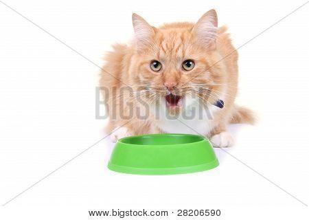 Brown Kitten Eating Forage