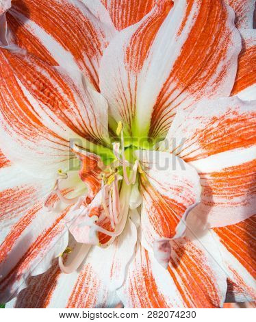 Close Up View Of The Centre Of An Amaryllis Flower