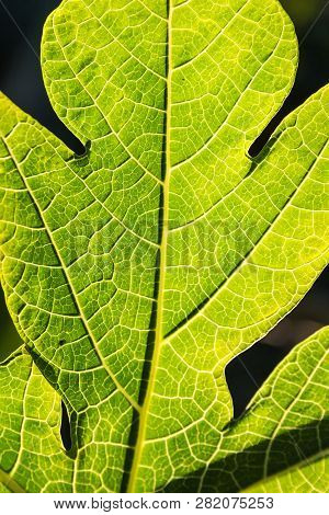 Close Up Macro View Of Bright Green Leaf With Veins And Cells Visible