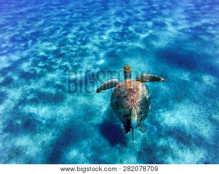 Big Sea Turtle Eretmochelys Imbricata With Sticky Fish In The Clear Waters Of The Bay Of Abu Dabab I