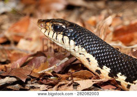 middle sized snake Malagasy Giant Hognose, Leioheterodon madagascariensis in Ankarafantsika National Park, Madagascar wildlife, Africa poster